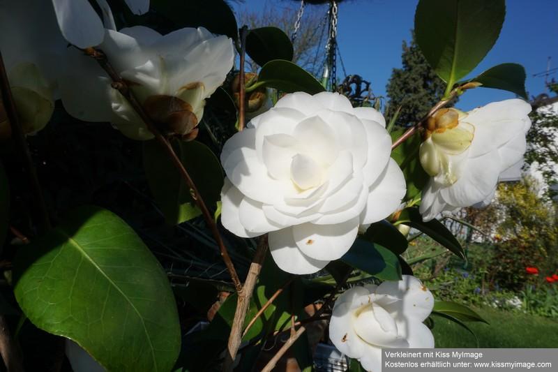 Camellia - Kamelien - Seite 7 Dsc02628