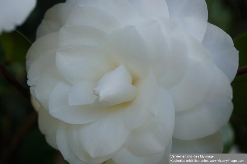 Camellia - Kamelien - Seite 7 Dsc02630