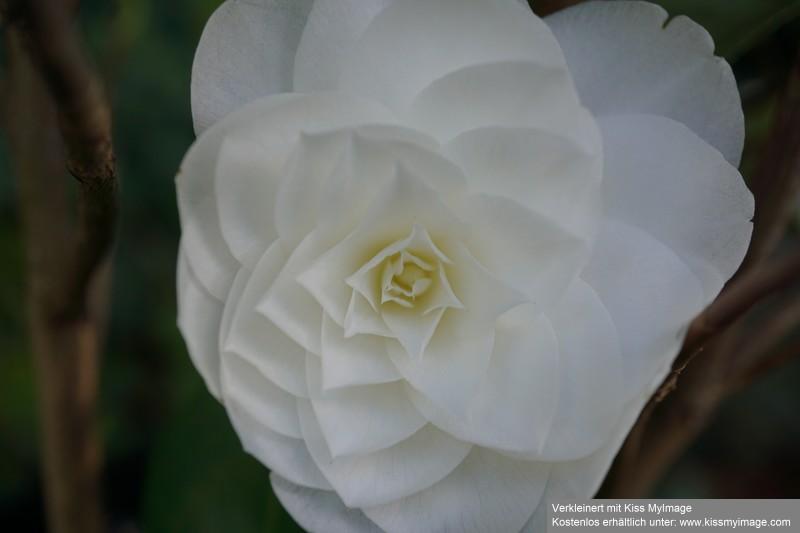 Camellia - Kamelien - Seite 7 Dsc02631