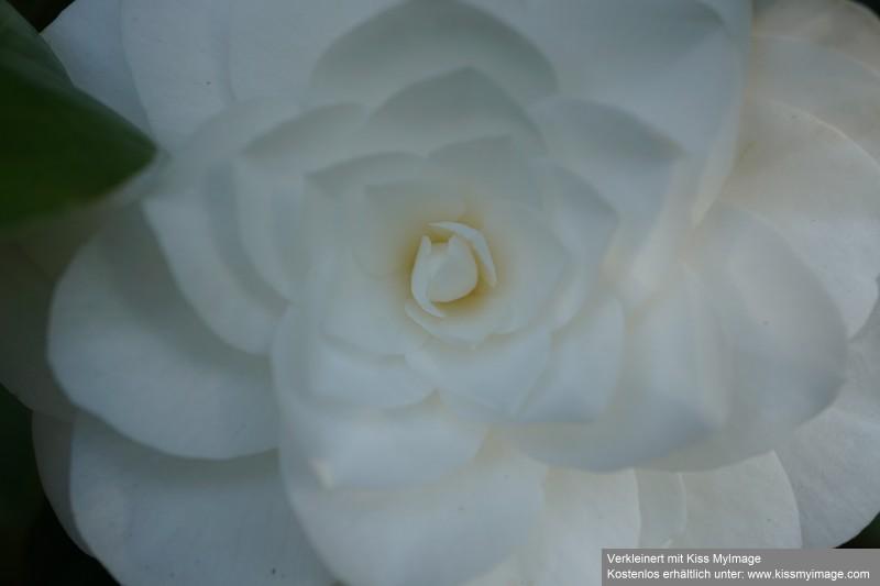 Camellia - Kamelien - Seite 7 Dsc02632