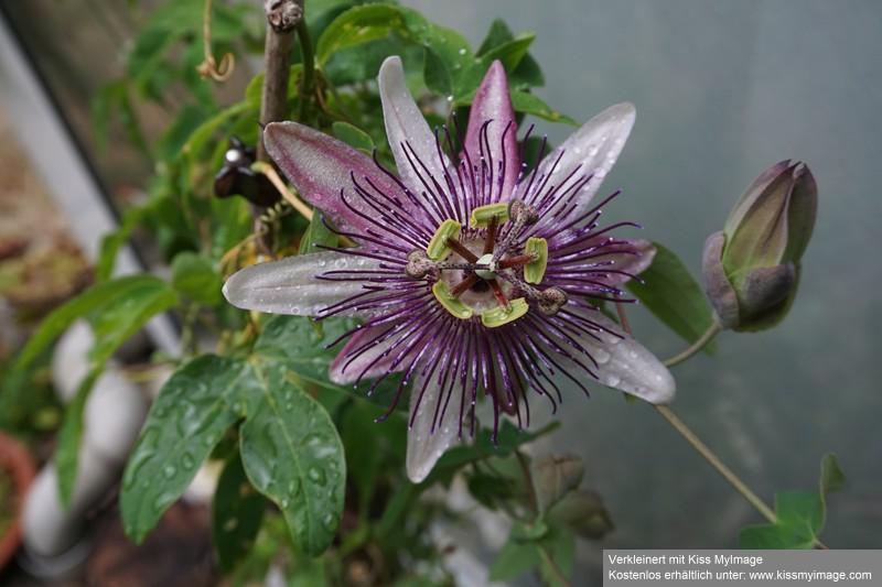 """Passiflora - Passionsblume - kleine """"Juwelen"""" - alles über Aussaat, Pflege, Vermehrung und natürlich Blütenbilder :) - Seite 30 Dsc03277"""