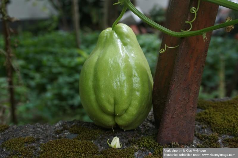 Kürbisgewächse - Cucurbitaceae: Melonen, Gurken, Kürbisse und Zucchini - alle Verteter der nichtsukkulenten Arten - Seite 17 Dsc03720