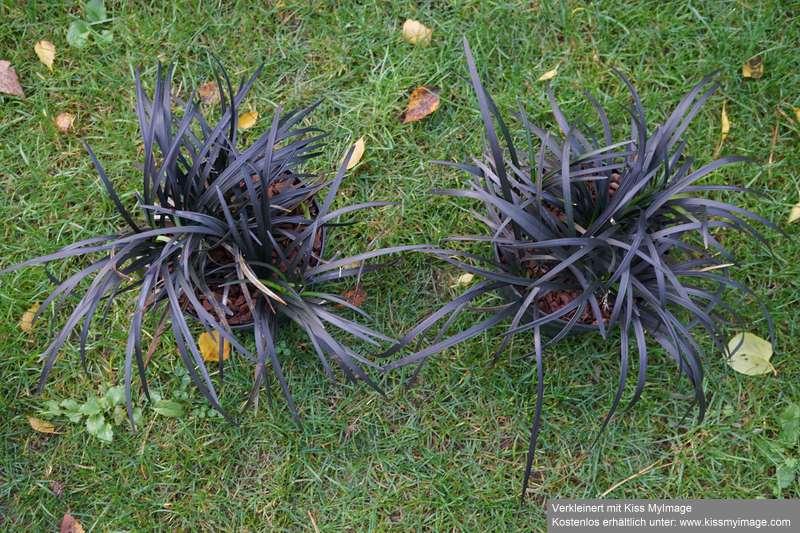 Ophiopogon planiscapus 'nigrescens' Dsc04146