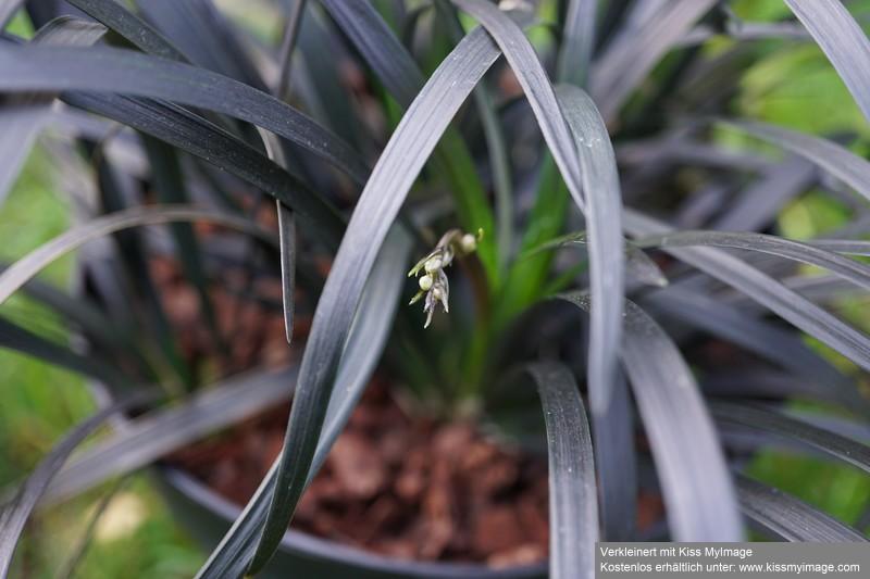 Ophiopogon planiscapus 'nigrescens' Dsc04147