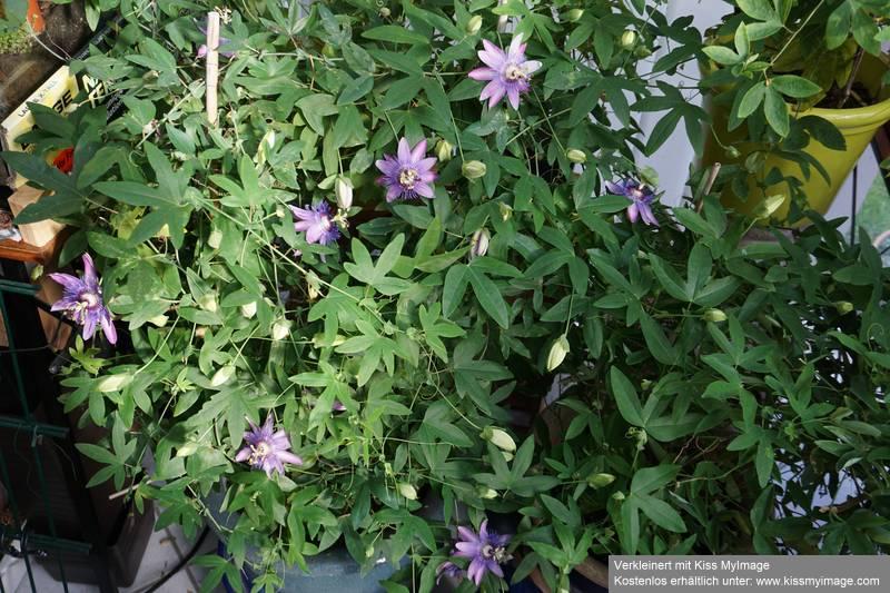 """Passiflora - Passionsblume - kleine """"Juwelen"""" - alles über Aussaat, Pflege, Vermehrung und natürlich Blütenbilder :) - Seite 30 Dsc04152"""