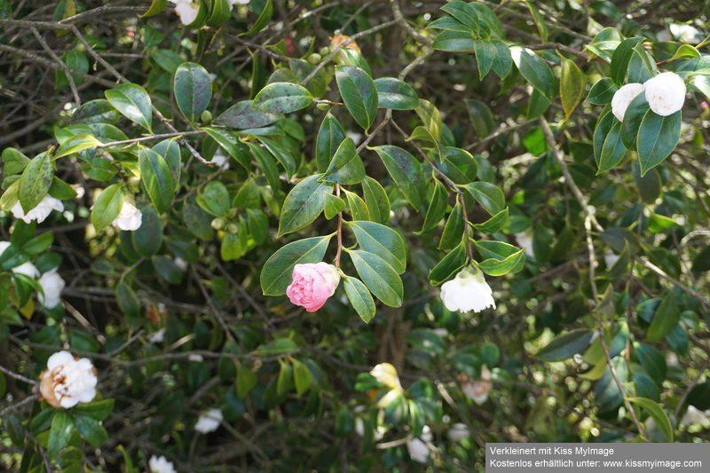 Camellia - Kamelien - Seite 9 Dsc05117