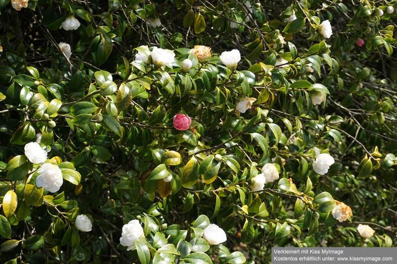Camellia - Kamelien - Seite 9 Dsc05119