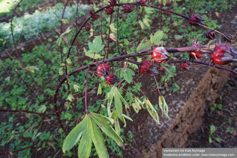 Stengel mit markanten Früchten Dsc05311