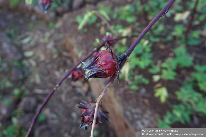 Stengel mit markanten Früchten Dsc05312