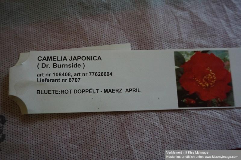 Camellia - Kamelien - Seite 9 Dsc05663