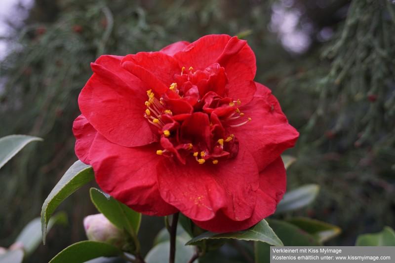 Camellia - Kamelien - Seite 9 Dsc05665