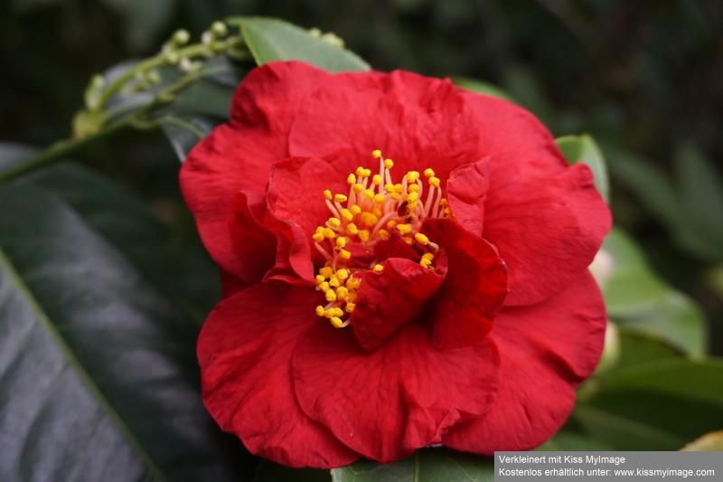 Camellia - Kamelien - Seite 9 Dsc05666
