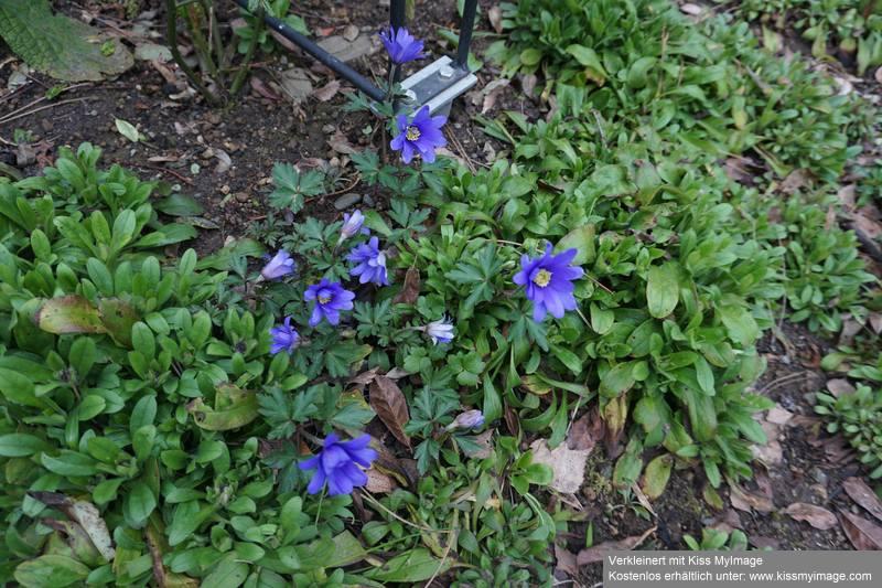Erste Frühlingsboten im Garten und in Wald und Flur - Seite 88 Dsc05670