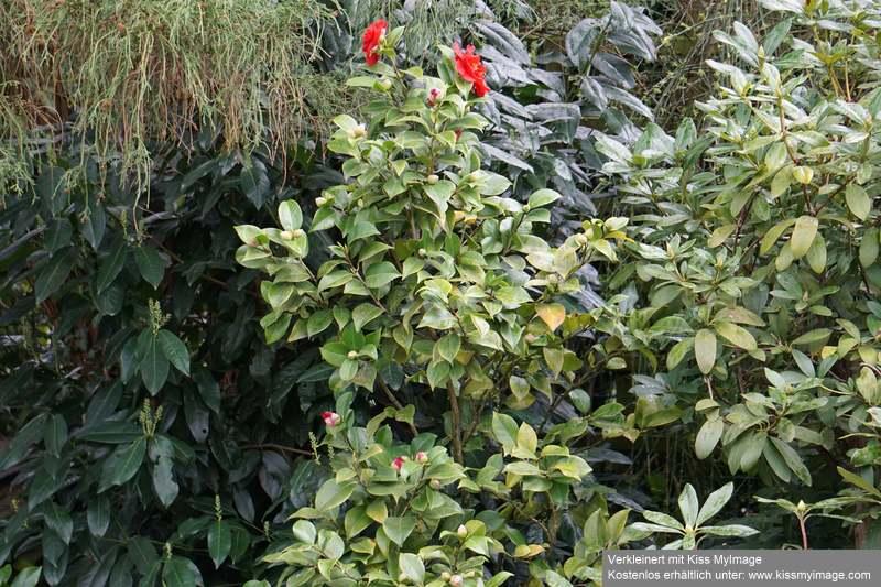 Camellia - Kamelien - Seite 9 Dsc05710