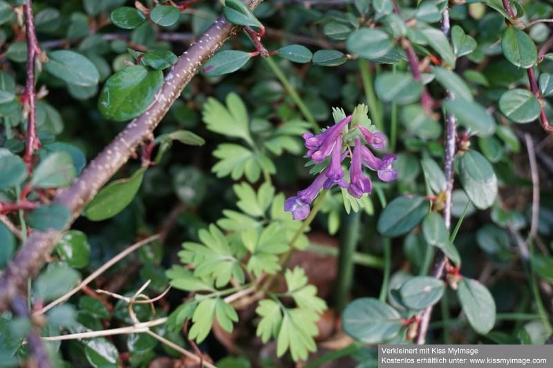 Erste Frühlingsboten im Garten und in Wald und Flur - Seite 88 Dsc05711
