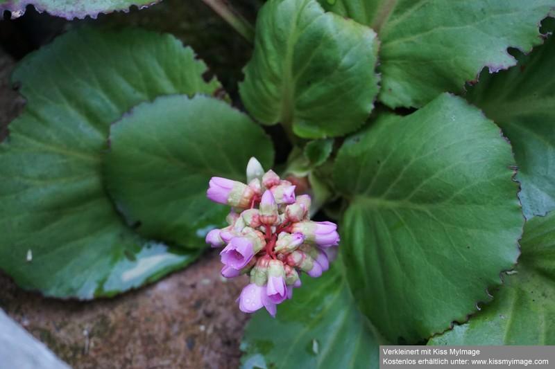 Erste Frühlingsboten im Garten und in Wald und Flur - Seite 88 Dsc05713