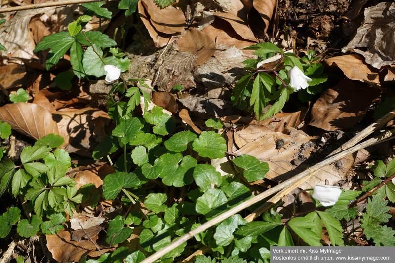 Erste Frühlingsboten im Garten und in Wald und Flur - Seite 91 Dsc05736