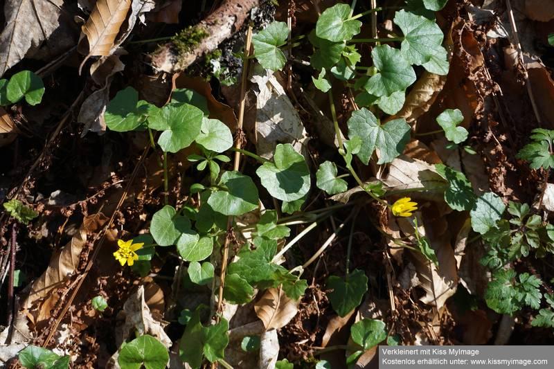 Erste Frühlingsboten im Garten und in Wald und Flur - Seite 91 Dsc05738