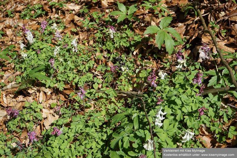 Erste Frühlingsboten im Garten und in Wald und Flur - Seite 91 Dsc05739