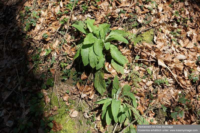 Erste Frühlingsboten im Garten und in Wald und Flur - Seite 91 Dsc05742