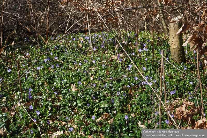 Erste Frühlingsboten im Garten und in Wald und Flur - Seite 91 Dsc05750