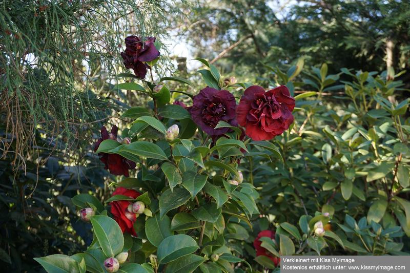 Camellia - Kamelien - Seite 9 Dsc05761