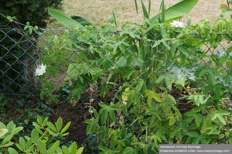 """Passiflora - Passionsblume - kleine """"Juwelen"""" - alles über Aussaat, Pflege, Vermehrung und natürlich Blütenbilder :) - Seite 35 Dsc06133"""
