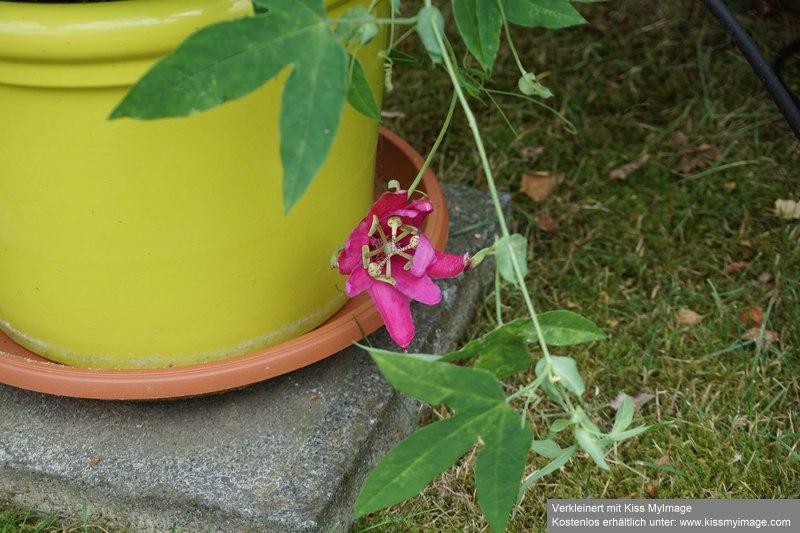 """Passiflora - Passionsblume - kleine """"Juwelen"""" - alles über Aussaat, Pflege, Vermehrung und natürlich Blütenbilder :) - Seite 35 Dsc06134"""