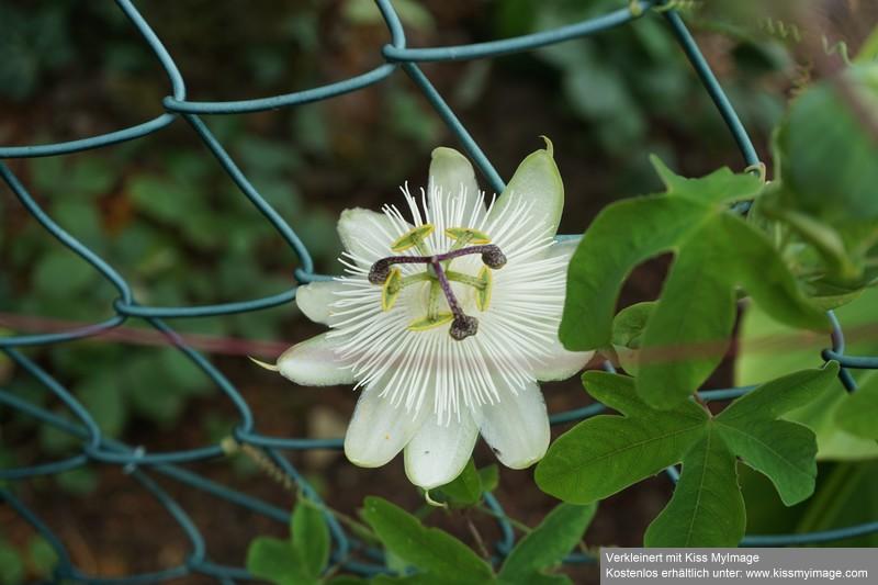 """Passiflora - Passionsblume - kleine """"Juwelen"""" - alles über Aussaat, Pflege, Vermehrung und natürlich Blütenbilder :) - Seite 35 Dsc06135"""