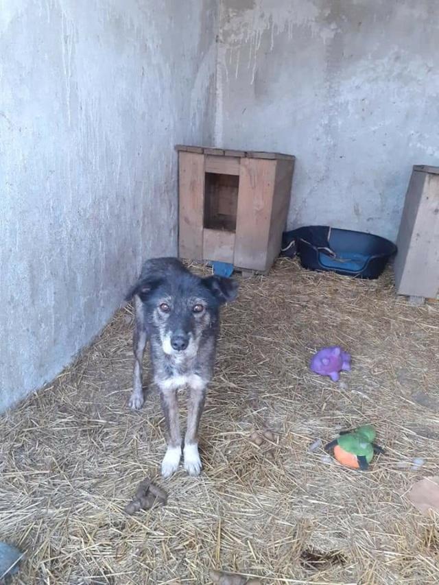 RODA, femelle de taille moyenne née en 2012, trouvée dans la rue - Parrainée par Manganouchka --R-SOS-SC Roda10