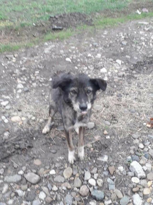 RODA, femelle de taille moyenne née en 2012, trouvée dans la rue - Parrainée par Manganouchka --R-SOS-SC Roda_210