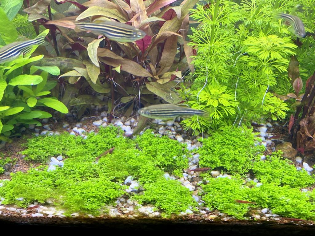 Gazonnante Hemianthus Callitrichoides Cuba 9d524210