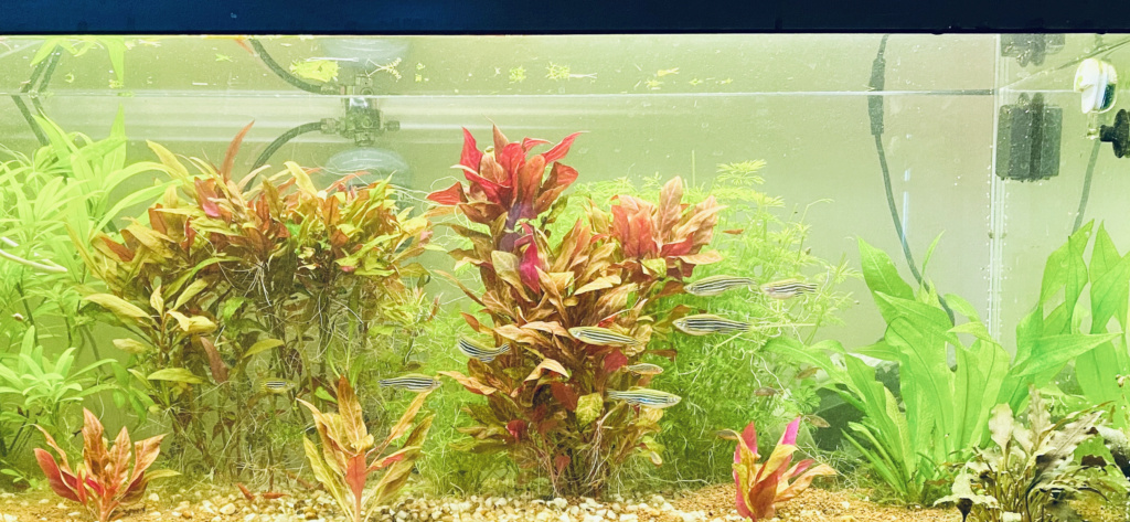 Hygrophila Angustifolia Red ah non alternanthera variegated red ^^ A357bc10