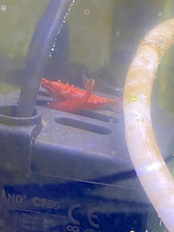 Reproduction crevettes  Cb5ead10