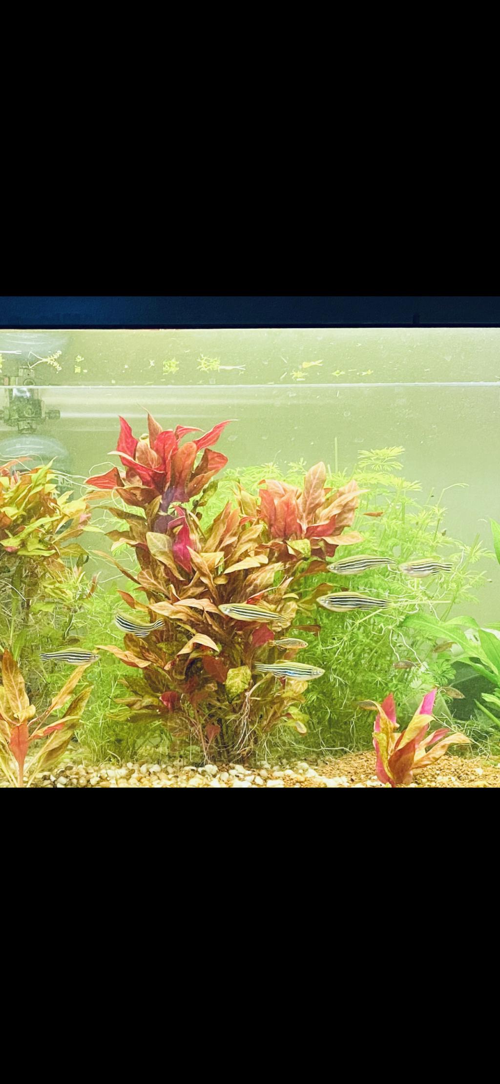 Hygrophila Angustifolia Red ah non alternanthera variegated red ^^ Fd5cdd10