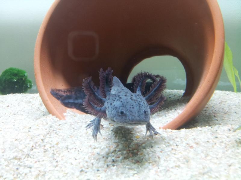 Reportage photos sur les Axolotls 20130910