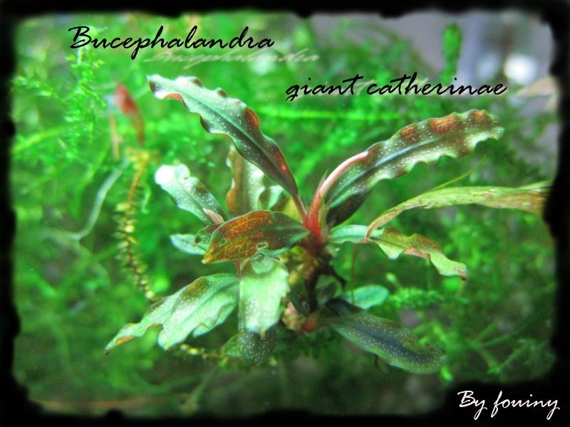 Fouiny bucephalandra Buceph10