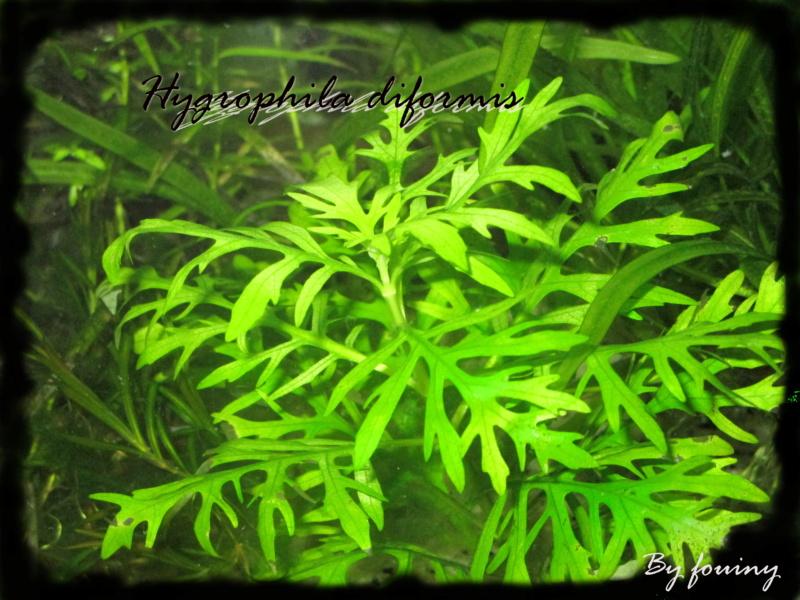 fouiny inventaire photo de mes plantes. Hygrop10