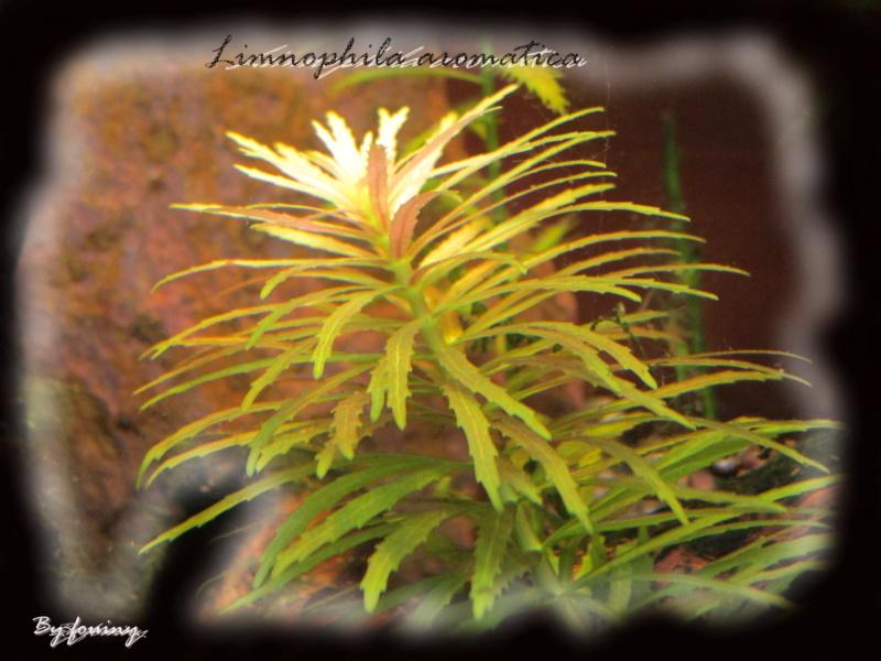 fouiny inventaire photo de mes plantes. Limnop10