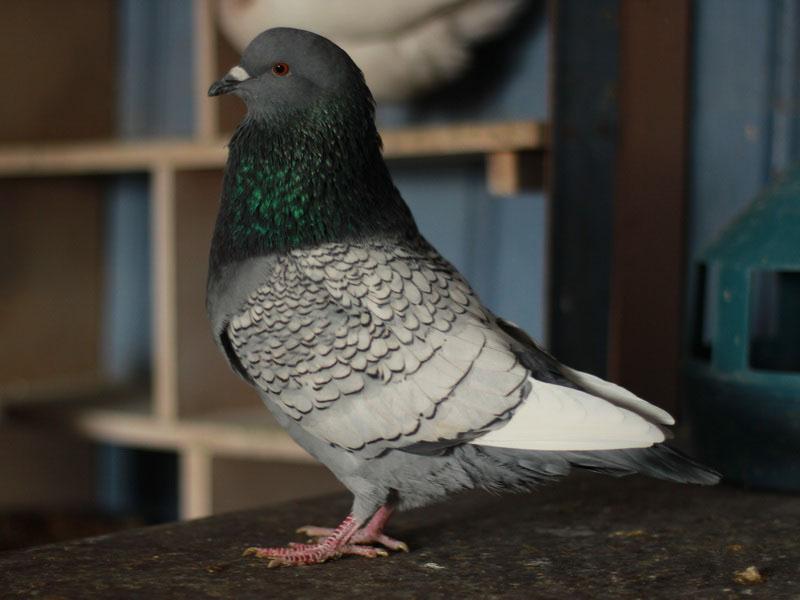Нужно ли кольцевать голубей? 0109w-10