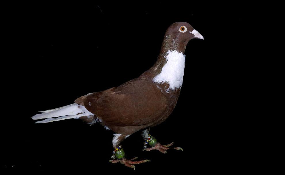 О наследовании цвета оперения у голубей 05s1610