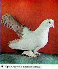 Цветнохвостые статные голуби 115