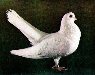 Одноцветные статные голуби 116