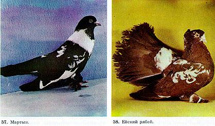 Пестрые статные голуби 117