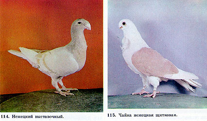 Чайки - голуби 123