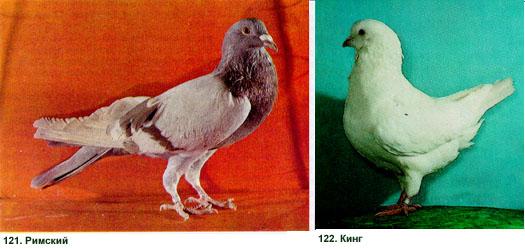 Мясные голуби - все о них 124