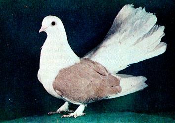 Цветнобокие статные голуби 213