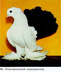 Цветнохвостые статные голуби 214