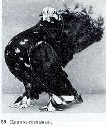 Пестрые статные голуби 216