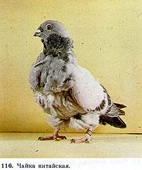 Чайки - голуби 221